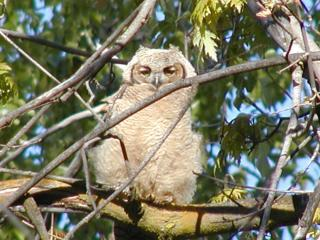 horned owl baby in idaho park