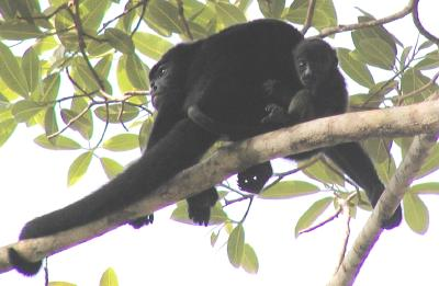 mother howler monkey with baby, there were lots of these lounging in the 