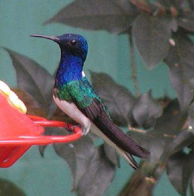 male white-necked jacobin, canopy tower feeders