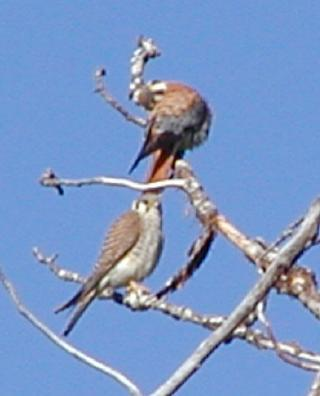 pair of american kestrels, one of many pairs in the park