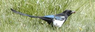 black=billed magpie a beautiful and ubiquitous species that adds excitement 