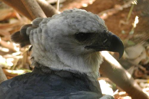male captive harpy eagle