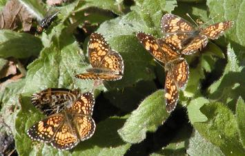 pearl crescent butterfly orgy