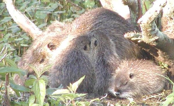 mother nutria with nursing babies, Lake Martin, Louisiana, March 20, 2004