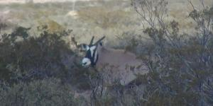 oryx at 