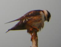 female pearl kite