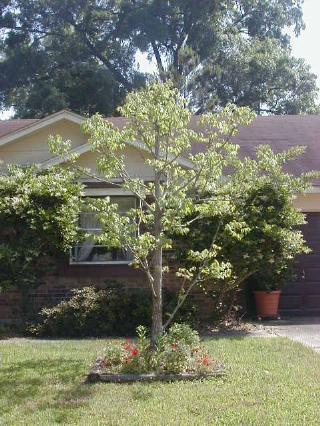 pecan tree from seed