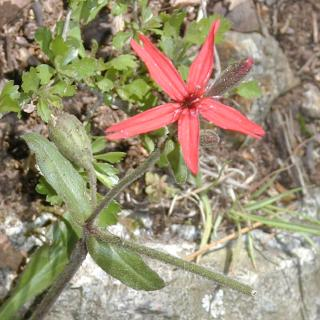 single red wildflower like a star