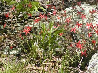 a red wildflower that looks like stars on west mountain