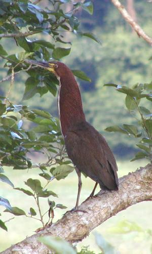 rufescent tiger-heron -- the photo doesn't do justice to 