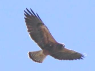 swainson's hawk in snake river, idaho
