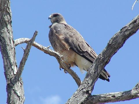 swainson's hawk perched