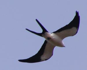 swallow-tailed kites were easily seen