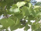close-up of leaves of tallow tree