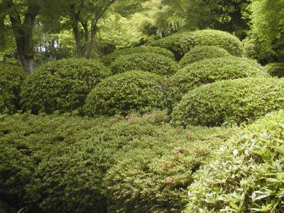 rounded hills of azaleas at tenryuji in arishiyama