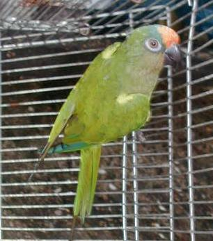 timmy, a peachfront conure, in his temporary cage