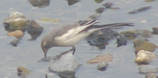 juvenile Japanese Wagtail, the adults are more dramatically marked in black 
