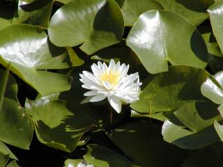 wild white waterlily at White Kitchen