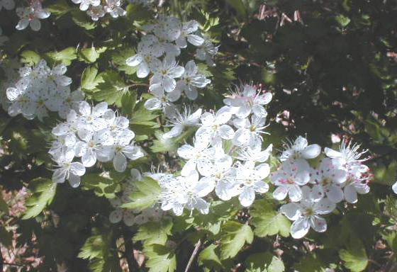 yaupon tree flowers