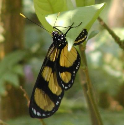butterfly feeding at cerro azul
